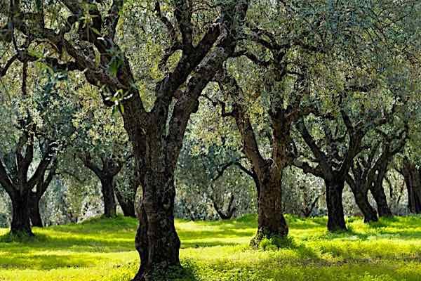 olivetrees1
